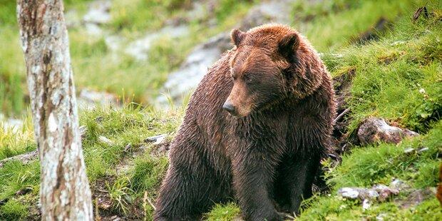 Bär tötet Kalb und attackiert Mutterkuh