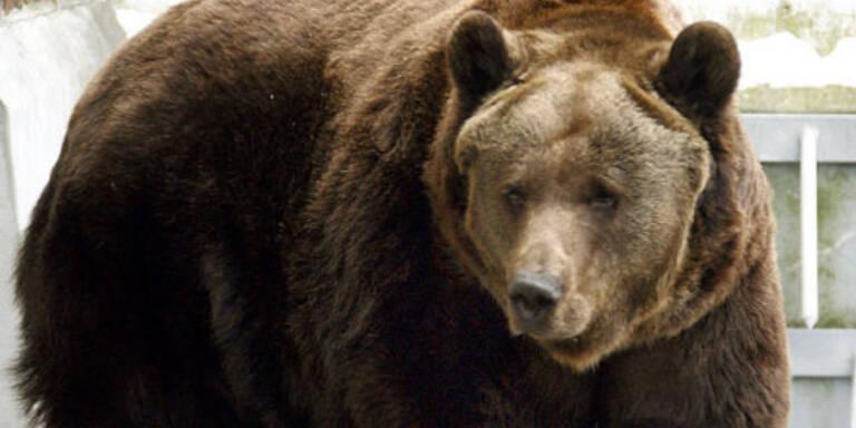 Braunbär Moritz bekommt drei Weibchen