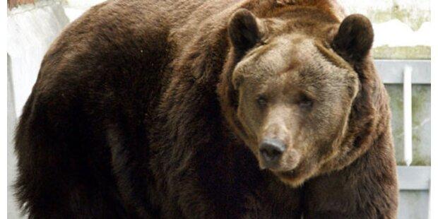Doch keine Weibchen für Braunbär Moritz?