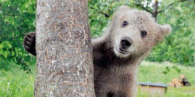 Braunbär Bärenjunges Bärenbaby  [610x305]
