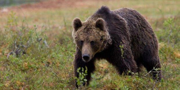 Bär biss bulgarischen Holzsammler tot