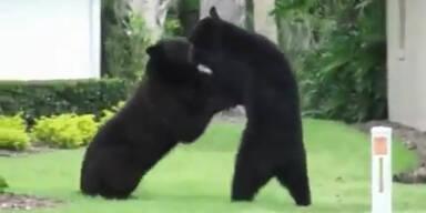 Heftiger Bärenkampf in US-Wohngebiet