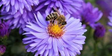 Biene - Tierschutz CH - Unsere Tiere - Sendung 03032019 - Bienensterben - Blüte