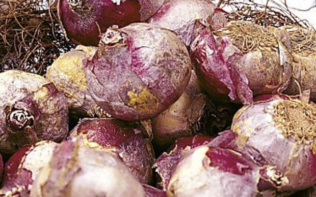 Wintersteckzwiebeln: Anspruchsloses Gemüse