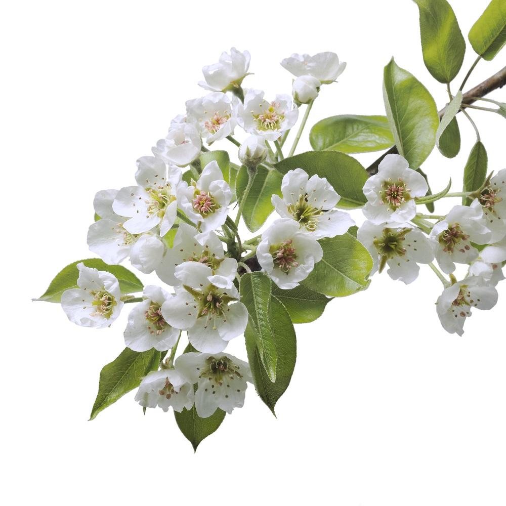 Birnenblüte - Garten-CH - NaturLust #15 - NaturGarten S. 22-27