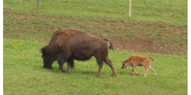 Bäuerin in NÖ von Bison aufgespießt
