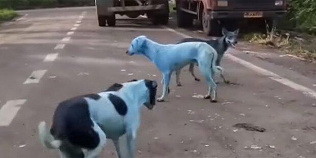 Blaue Hunde in Indien: Der Grund dafür ist schockierend