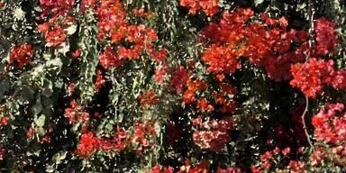 Bougainvillea leuchten in Rot, Pink und Lila