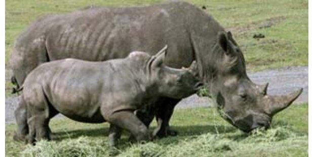 Ältestes Zoo-Nashorn in Niedersachsen wird 50
