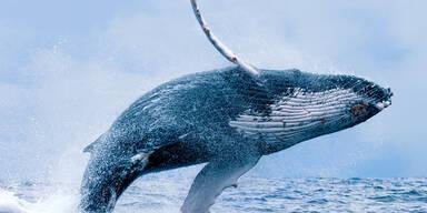 Buckelwal verschluckt Mann – Taucher überlebt!