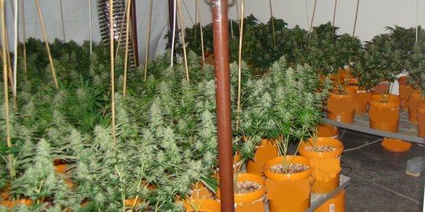 Cannabisplantage in Niederösterreich ausgehoben