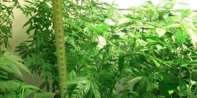 Cannabis-Plantage im großen Stil