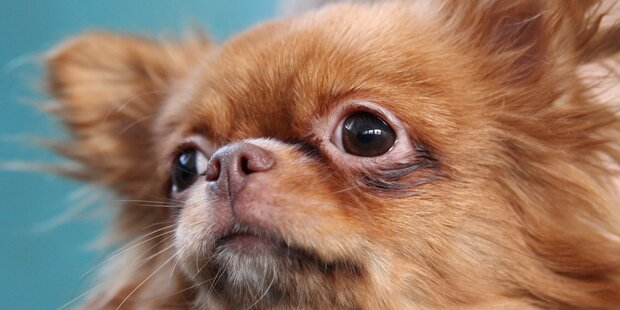 Schäfer erschreckte Chihuahua zu Tode