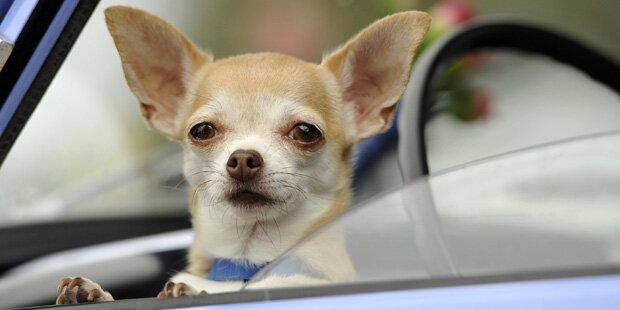 Polizei lässt Chihuahua wegen Kampfhund-Gefahr testen