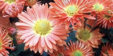 Chrysanthemen blühen bis zum ersten strengen Frost