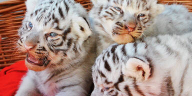 Weiße Tiger-Babys dürfen bleiben