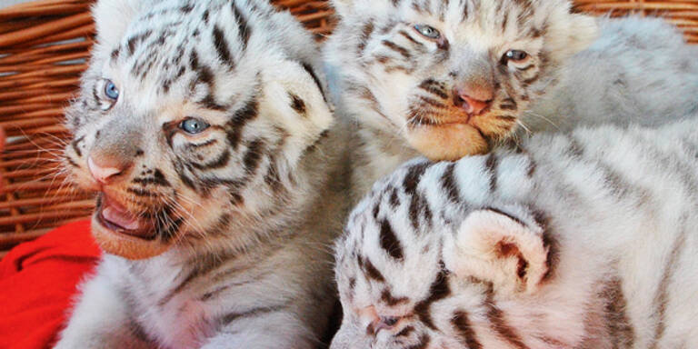 Justiz nimmt uns weiße Tigerbabys weg