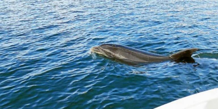Irre: Rolliger Delfin belästigt Badegäste