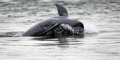 30 Delfine nach Wintereinbruch erfroren
