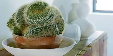 Der Kugelkaktus Ferocactus latispinus