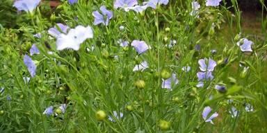 Die Leinpflanze kann pflegend sein