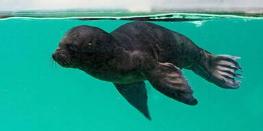 Robbenbaby wagte erste Schwimmversuche