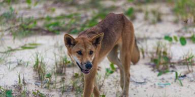 Dingo-Attacke: Bub (2) schwer verletzt