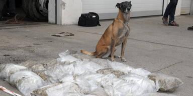 """Polizeihund """"Frankie"""" erschnüffelt 25 Kilo Marihuana in Drogen-Bus"""