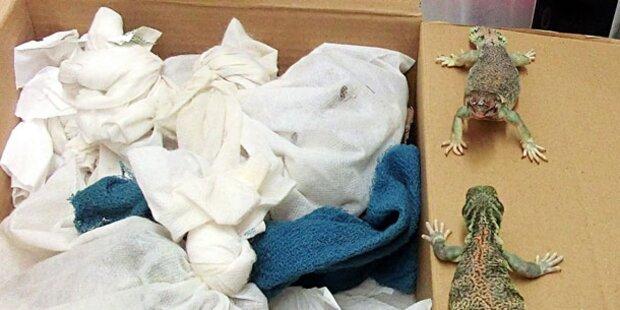 Mann schmuggelte 49 lebende Reptilien
