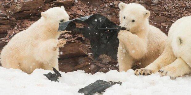 Schockierend: Hier spielen Eisbären-Junge mit Müll
