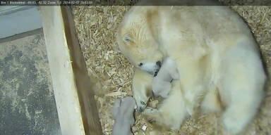 Süß: Eisbärenbaby unternimmt erste Gehversuche