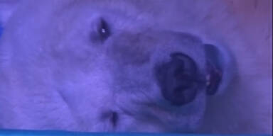 So sehr leidet der traurigste Eisbär der Welt