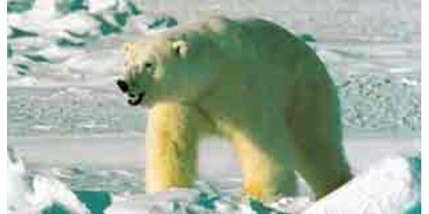 Zwei Drittel der Eisbären bis 2050 verschwunden