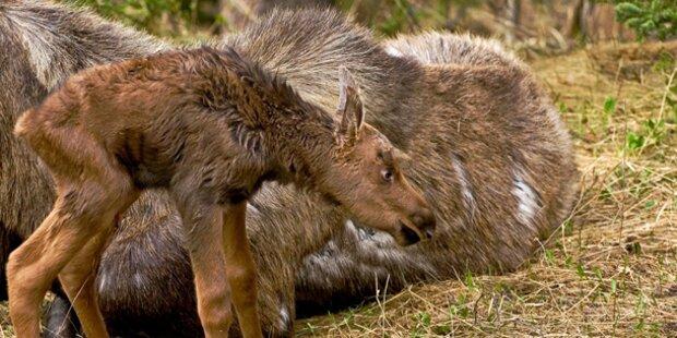 ORF zeigt Doku über Elche in Alaska