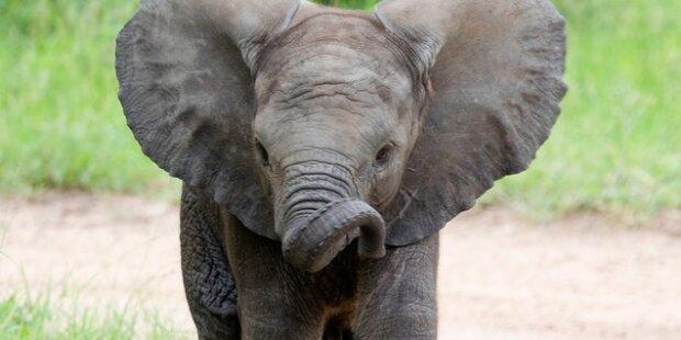 Elf Mängel: Elefanten-Transport gestoppt
