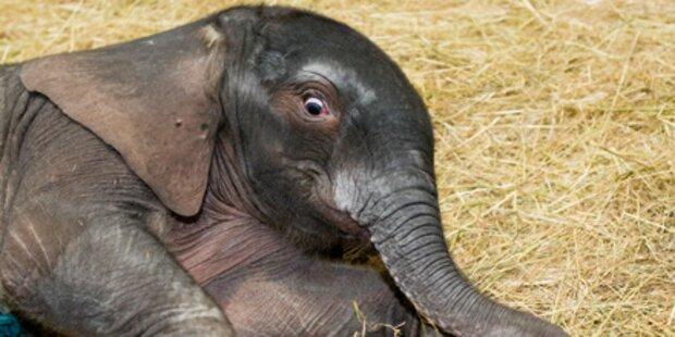 Baby-Dumbo zeigt sich zum ersten Mal