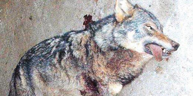 Bauer erlegt wilden Wolf im Schaf- Stall