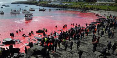 52 Wale auf den Färöer in Bucht getrieben und getötet