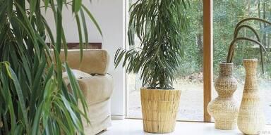 Ficus sollte ins Haus umziehen, sobald es kalt wird