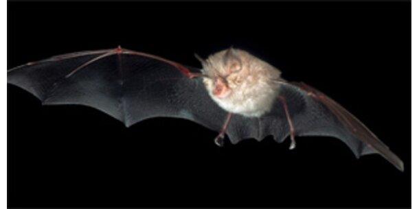 Regenwald-Fledermäuse lieben Kuhblut