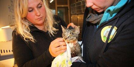 Katze alle Zehen abgeschnitten und ausgesetzt