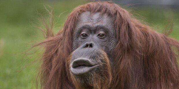 Weltberühmter Affe Nonja aus Tiergarten Schönbrunn verstorben