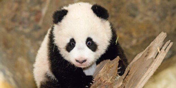 Panda-Drama in Schönbrunn