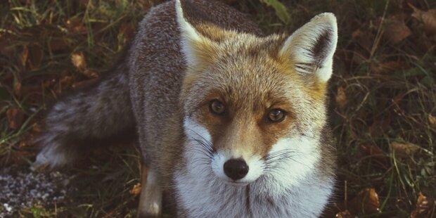 Fünf tote Füchse mit Staupe gefunden