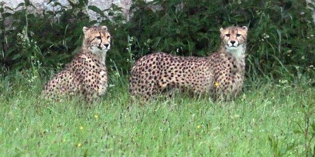 Gepardenquartett wieder daheim