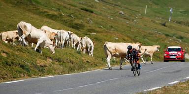 Schock! Beinahe-Crash mit Kuh-Herde