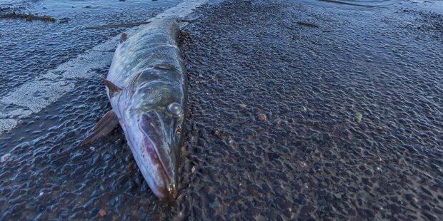 Fische auf Fahrbahn – A8 gesperrt