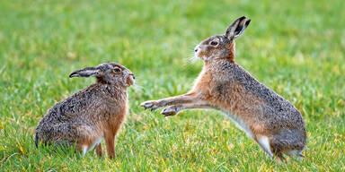 Irre: Tierhasser nagelte Hasen an einen Baum