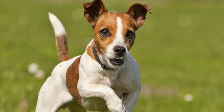 Tierqu00e4uler Schlu00e4gt Hund Nagel In Kopf Und Bergu00e4bt Ihn - Ausdrucken - U00d6sterreich / Oe24.at