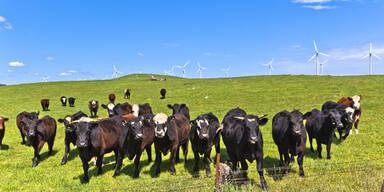 Windräder Kühe